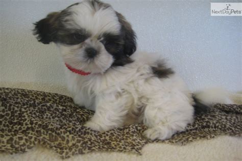 shih tzu dogs personality shih tzu traits and characteristics info breeds picture
