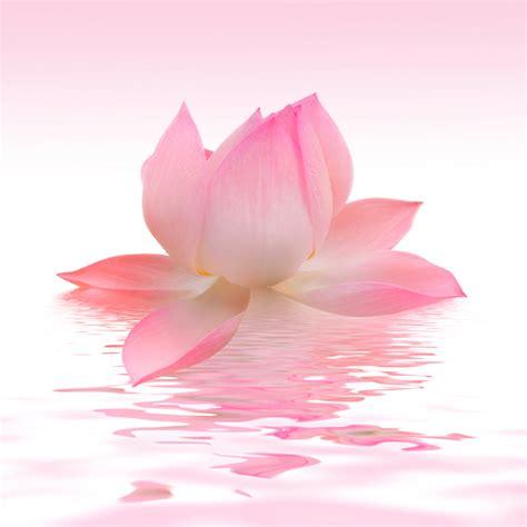 wallpaper pink lotus pink lotus canvas print canvas art photowall