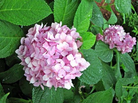 wann pflanzt hortensien die besten 25 mophead hydrangea ideen auf