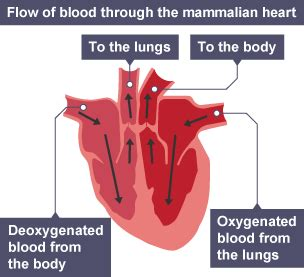 Similiar body diagram oxygenated and deoxygenated blood in blood bbc bitesize national 5 biology transport systems ccuart Choice Image