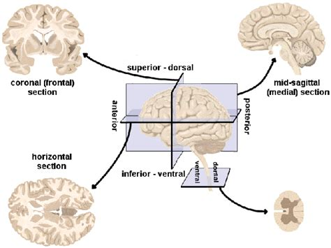 different sections how do neuroscientists refer to different brain areas quora
