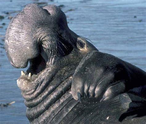 Walrus Vs Elephant Seal by Elephant Seal Vs Walrus