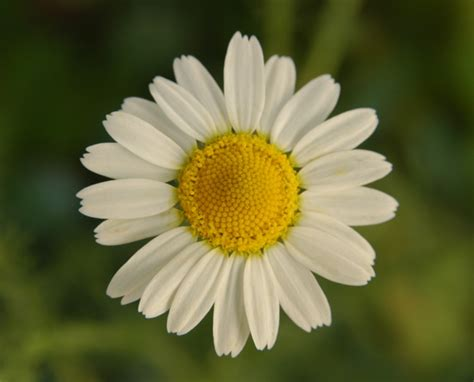 fiore angiosperme margherita pictures news information from the web