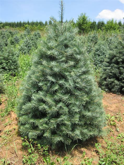 concolor smell like oranges christmas trees concolor fir or white fir abies concolor