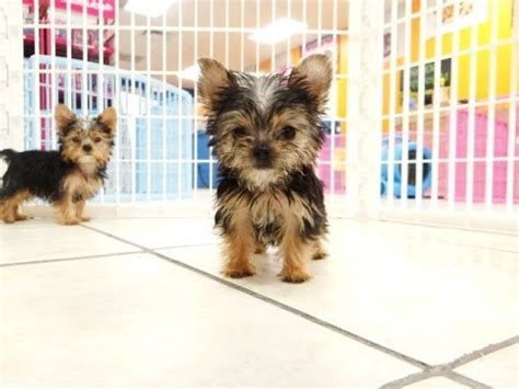 yorkie puppies for sale in raleigh nc terrier yorkie puppies dogs for sale in raleigh carolina nc