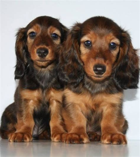 longhaired dachshund puppy gorgeous longhaired dachshund puppies pets smooth portrait and
