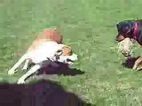rottweiler vs pitbull fight fight rottweiler vs pitbull