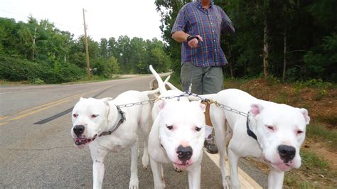 dogo argentino puppies for sale 2017 ridge dogo kennels
