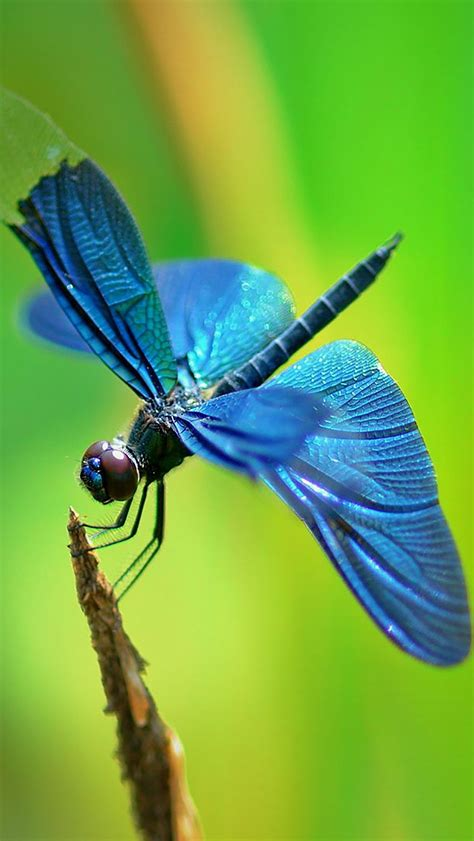 insect dragonfly wallpaper  iphone        wallpapers
