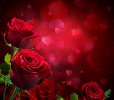 background design red rose rose 5k retina ultra hd wallpaper and background image