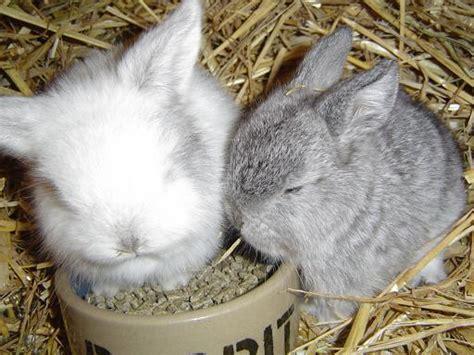 b07csr31fb la tete du lapin bleu elevage de l orangeraie tout sur le lapin nain