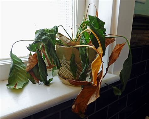 indoor plant dying dying container plants why a plant may suddenly die