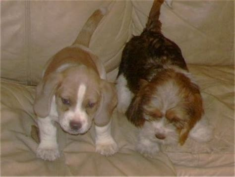 basset shih tzu mix tzu basset breed information and pictures