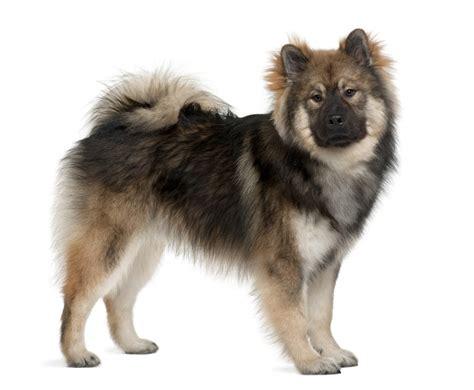 eurasier puppies eurasier dogs breed information omlet