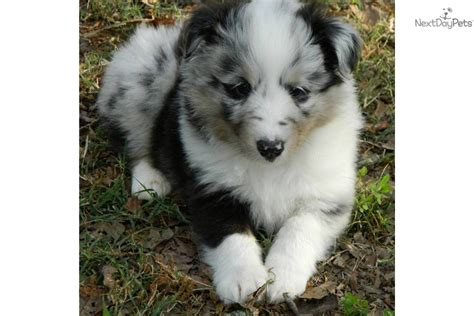 blue merle sheltie puppies for sale meet a shetland sheepdog sheltie puppy for sale for 900 akc