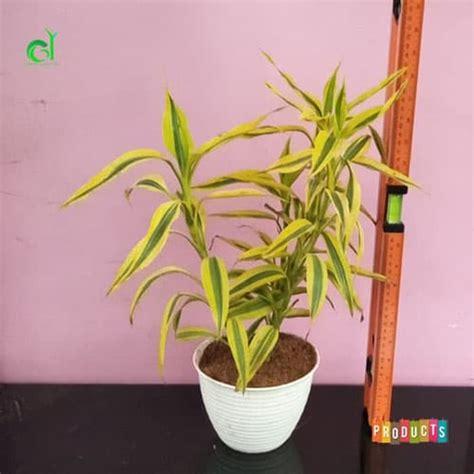 katalog gambar  harga tanaman hias bunga bambu ibad