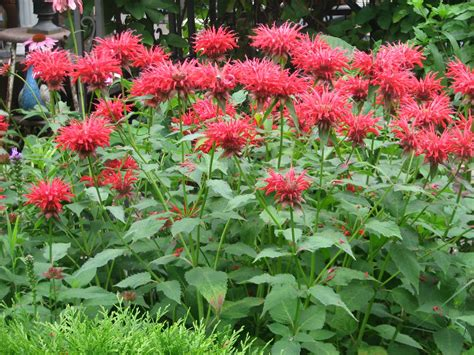 bergamot and bee balm auntie dogma s garden spot