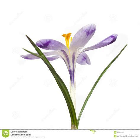 fiore dello zafferano fiore dello zafferano fotografia stock immagine 51528353