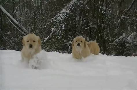 golden retriever puppies in snow golden retriever puppies play in the snow