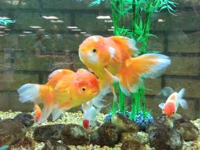 Gold Fish Tank Images & Pictures   Becuo