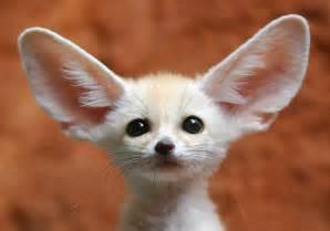 fennec fox fox photo 24576630 fanpop