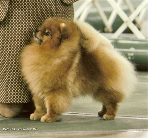 pomeranian puppies for sale in lubbock best 25 pomeranian breeders ideas on adorable puppies fluffy puppies and