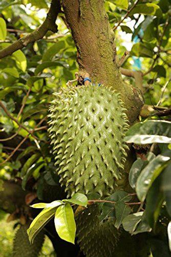 g fruit guanabana soursop graviola guanabana fruit by gfruit this is