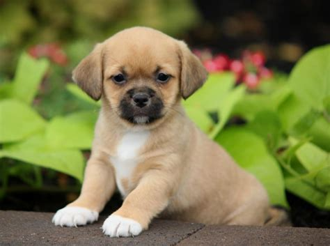 free puppies akron ohio pekingese puppies for sale in ohio breeds picture