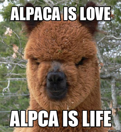 alpaca is love alpca is life memes com