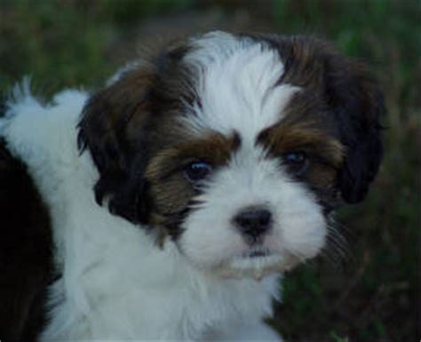 cavalier king charles shih tzu mix cava tzu cavalier king charles spaniel shih tzu mix temperament puppies pictures