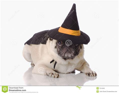 dress up pug pug dress up royalty free stock image image 7214246
