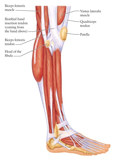 lowered muscle side view of leg muscles human body anatomy system