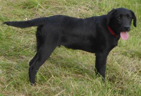 blackdog cat 2013 9 month black labrador oswestry shropshire