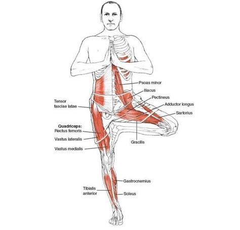 2842214420 yoga anatomie les postures 1000 images about tree pose on pinterest trees yoga