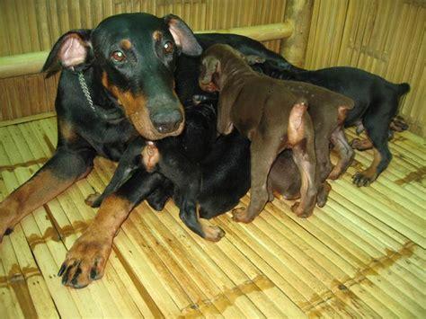 pedigree doberman puppies