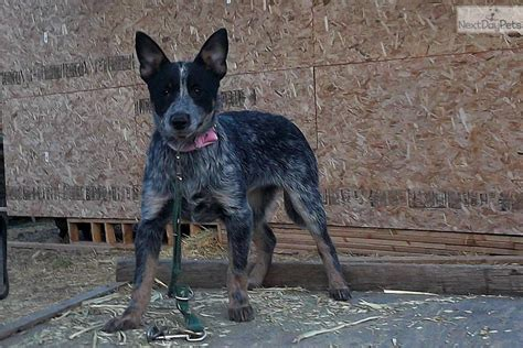 queensland heeler puppies craigslist miniature queensland blue heeler breeds picture