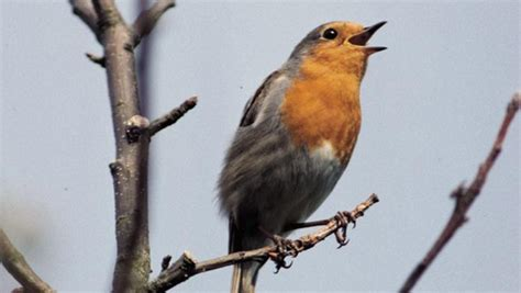 the rspb watching birds nocturnal song