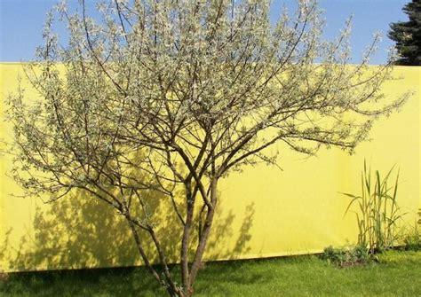 kleiner baum fγόr garten elaeagnus angustifolia schmalbl 228 ttrige 214 lweide