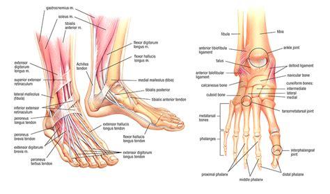 paw anatomy foot anatomy east foot associates