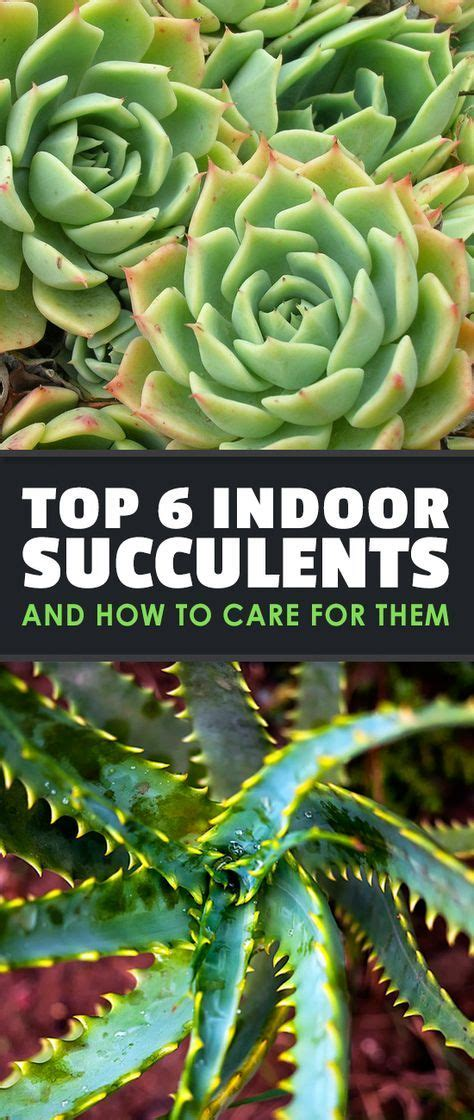 top  indoor succulents    care   indoor