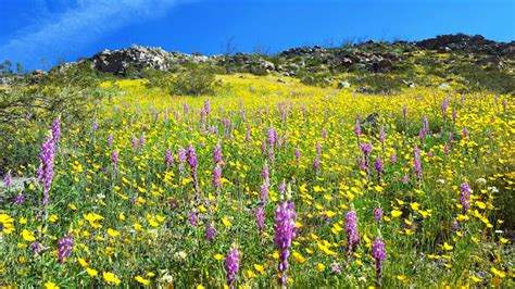 anza borrego flowers anza borrego desert wildflowers update