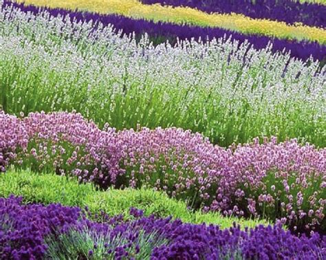 lavender as hedging plants the garden of eaden