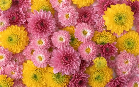 chrysanthemums flower beautiful flowers  lights color