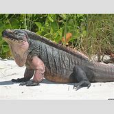 jamaican-iguana