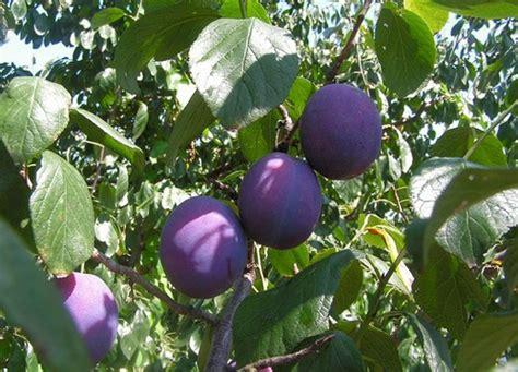 fiori di susino susino albero da frutto pollicegreen