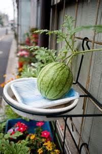 container watermelons how to grow watermelon in containers