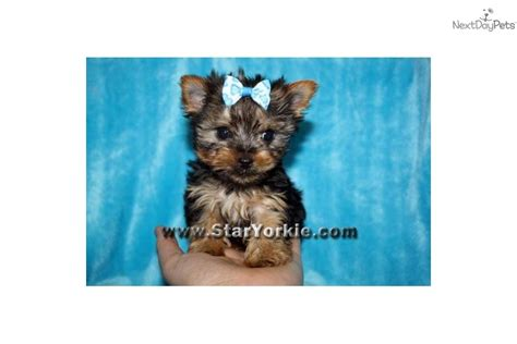 the smallest yorkie in the world terrier yorkie puppy for sale near los angeles california c800ae55 6991