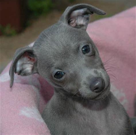 miniature greyhound puppies blue greyhound puppy big dogs dogs puppys so and