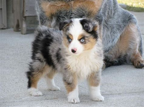undocked australian shepherd puppies for sale best 25 miniature australian shepherd puppies ideas on miniature