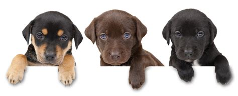 free puppies in delaware free puppies for adoption design bild
